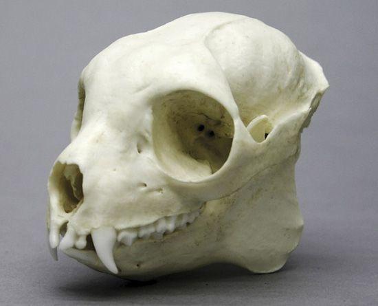 11-lemur